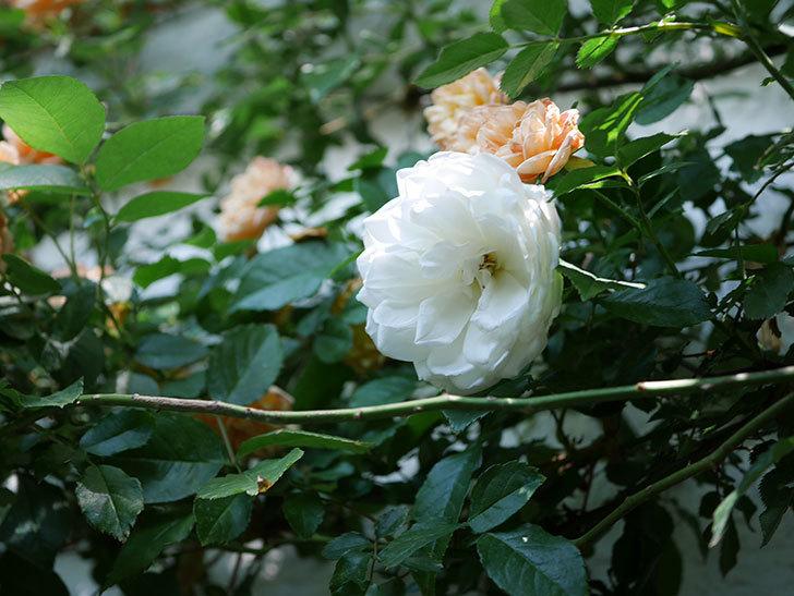つるアイスバーグ(ツルバラ)の花が増えて来た。2019年-9.jpg
