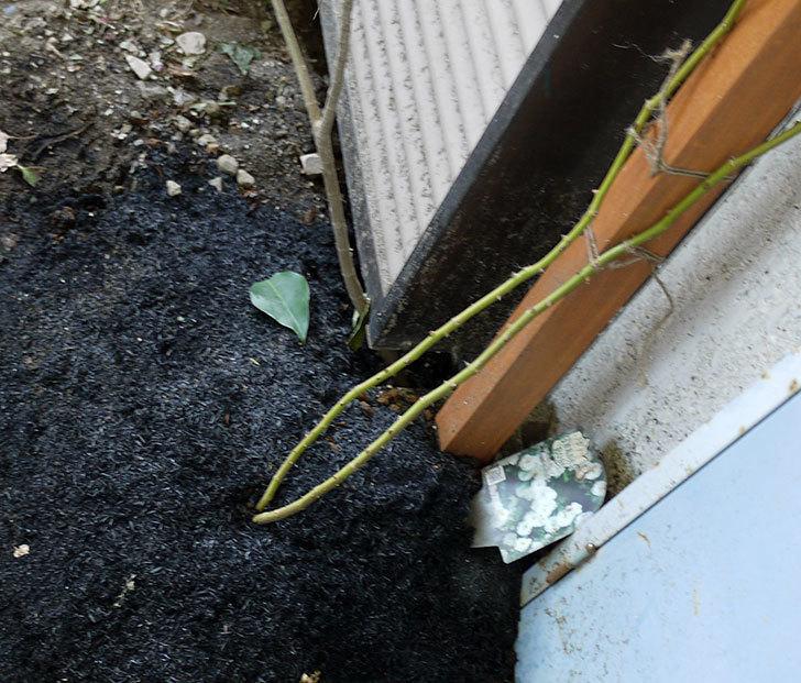 つるアイスバーグ(ツルバラ)の鉢植えを地植えして誘引した。2017年-1.jpg
