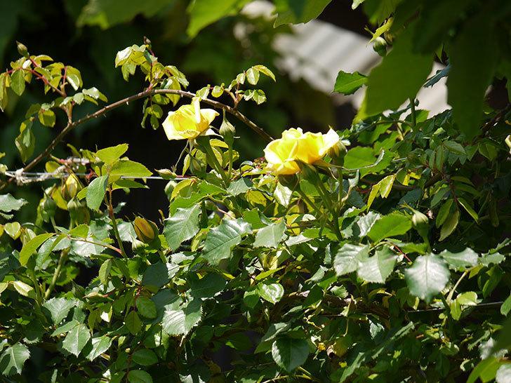 つるゴールドバニー(ツルバラ)が綺麗に咲いた。2017年-10.jpg