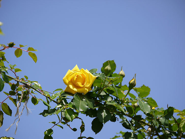 つるゴールドバニー(ツルバラ)が綺麗に咲いた。2017年-3.jpg