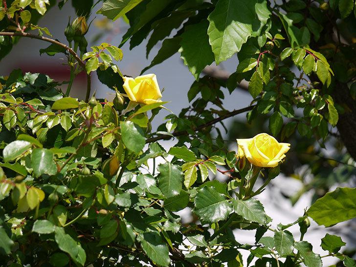 つるゴールドバニー(ツルバラ)が綺麗に咲いた。2017年-6.jpg