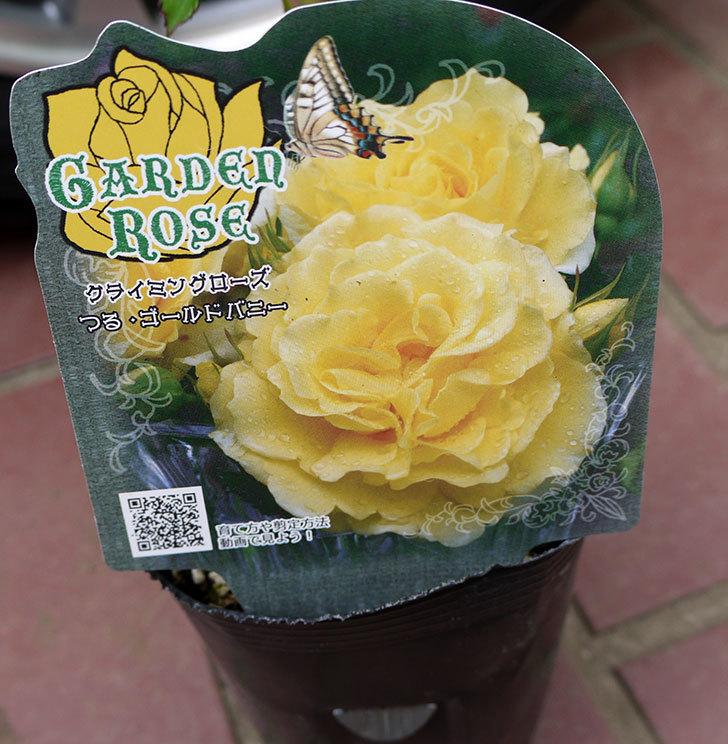 つるゴールドバニー(ツルバラ)の新苗がケイヨーデイツーで398円だったので買って来た4.jpg