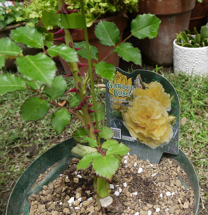 つるゴールドバニー(ツルバラ)の新苗を6号のロングスリット鉢に植えた。2016年-1.jpg