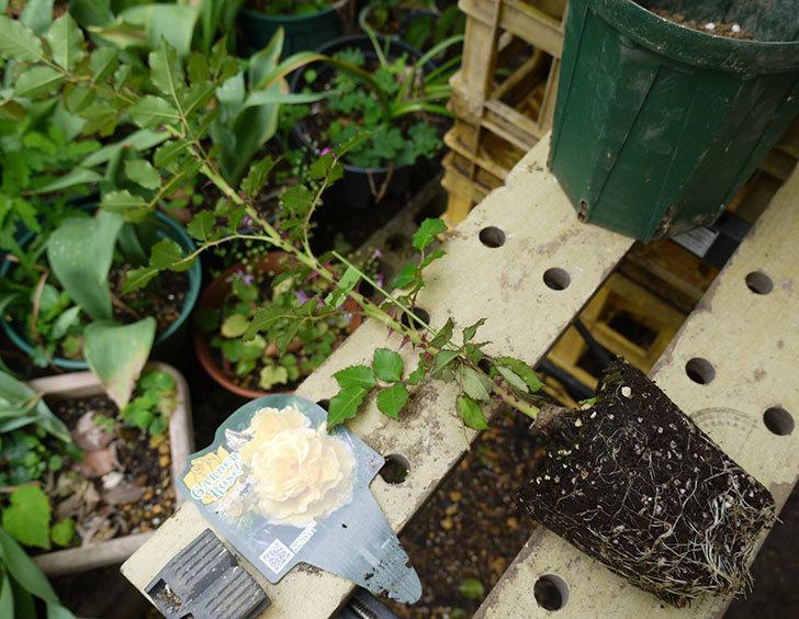つるゴールドバニー(ツルバラ)の新苗を6号のロングスリット鉢に植えた。2016年-2.jpg