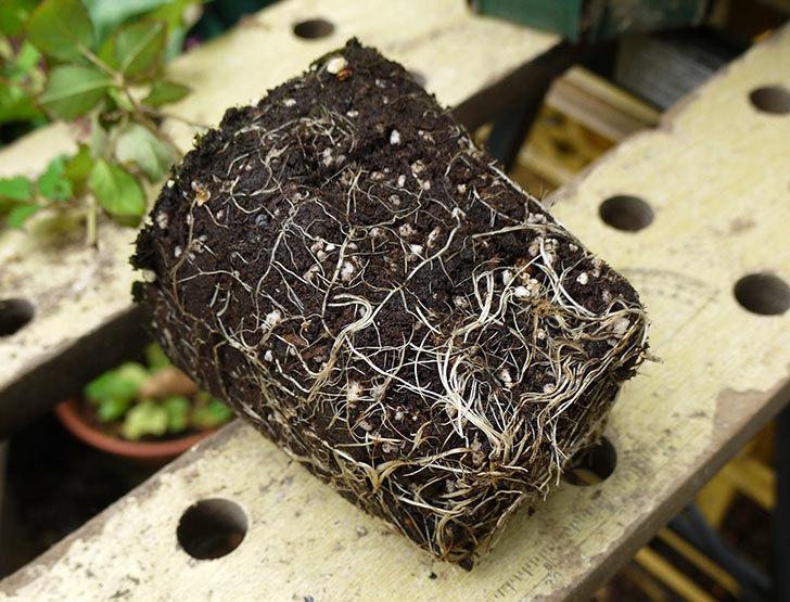 つるゴールドバニー(ツルバラ)の新苗を6号のロングスリット鉢に植えた。2016年-4.jpg