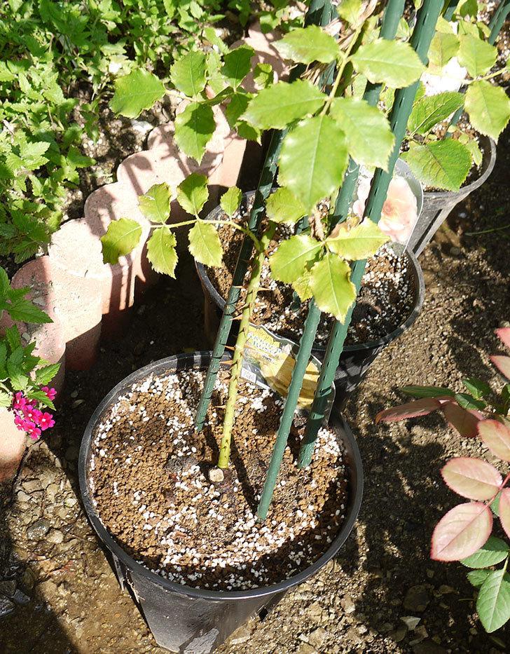 つるゴールドバニー(ツルバラ)の新苗を8号のEUロングスリット鉢に鉢増しした。2016年-1.jpg