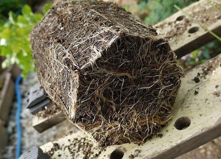 つるゴールドバニー(ツルバラ)の新苗を8号のEUロングスリット鉢に鉢増しした。2016年-5.jpg