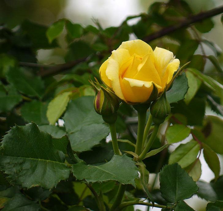 つるゴールドバニー(ツルバラ)の花が咲いた。2017年-1.jpg