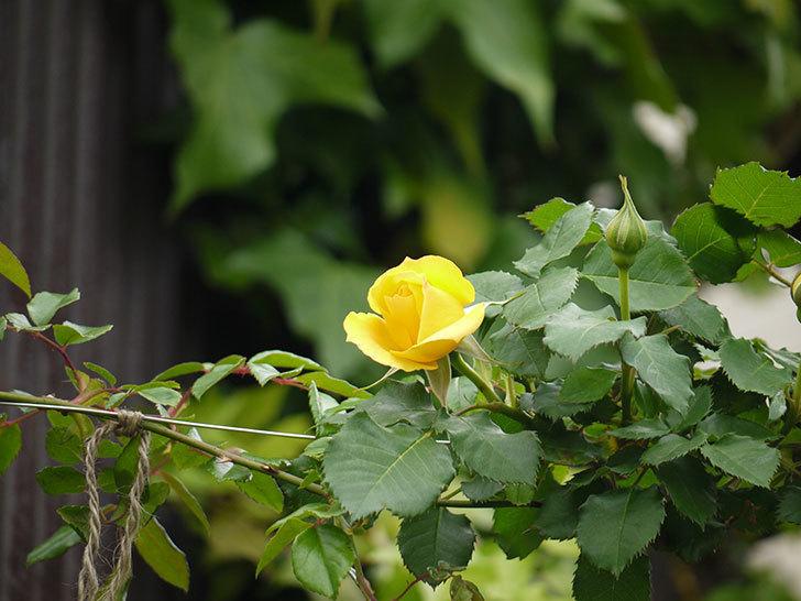 つるゴールドバニー(ツルバラ)の花が咲いた。2017年-10.jpg