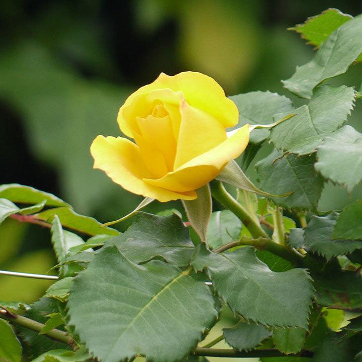 つるゴールドバニー(ツルバラ)の花が咲いた。2017年-11.jpg