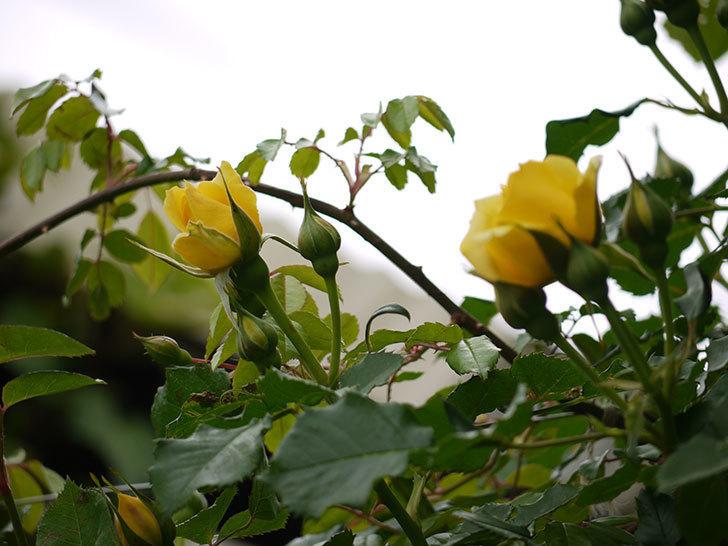 つるゴールドバニー(ツルバラ)の花が咲いた。2017年-12.jpg