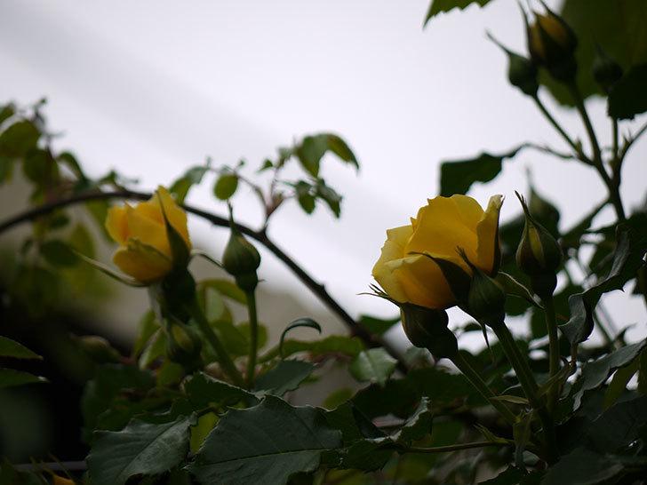 つるゴールドバニー(ツルバラ)の花が咲いた。2017年-13.jpg