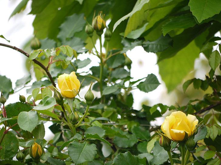つるゴールドバニー(ツルバラ)の花が咲いた。2017年-14.jpg
