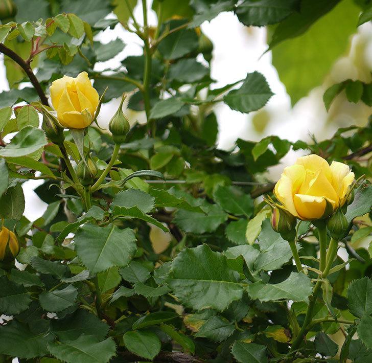 つるゴールドバニー(ツルバラ)の花が咲いた。2017年-15.jpg