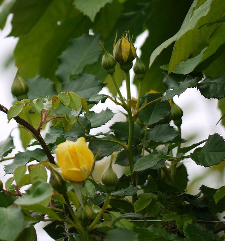 つるゴールドバニー(ツルバラ)の花が咲いた。2017年-16.jpg