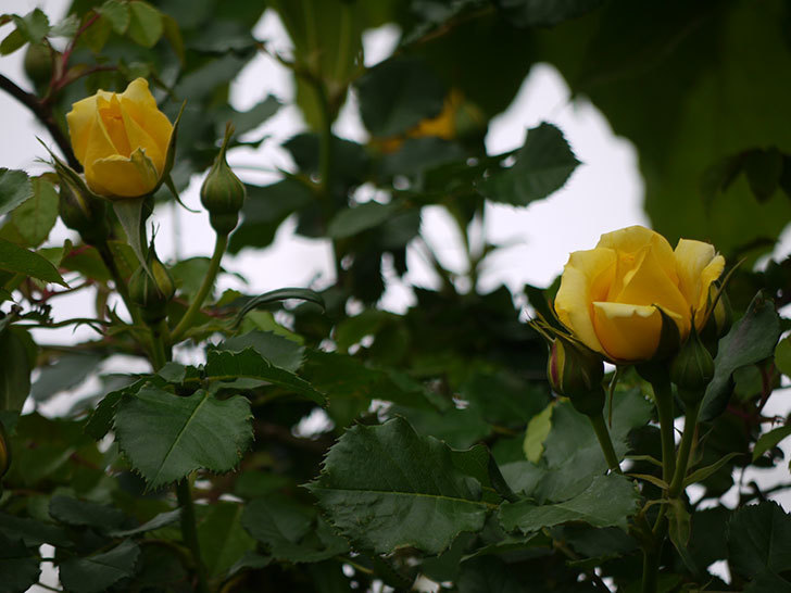 つるゴールドバニー(ツルバラ)の花が咲いた。2017年-3.jpg