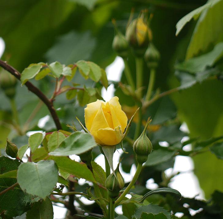 つるゴールドバニー(ツルバラ)の花が咲いた。2017年-5.jpg