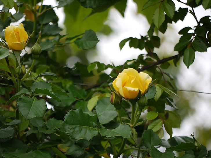 つるゴールドバニー(ツルバラ)の花が咲いた。2017年-8.jpg
