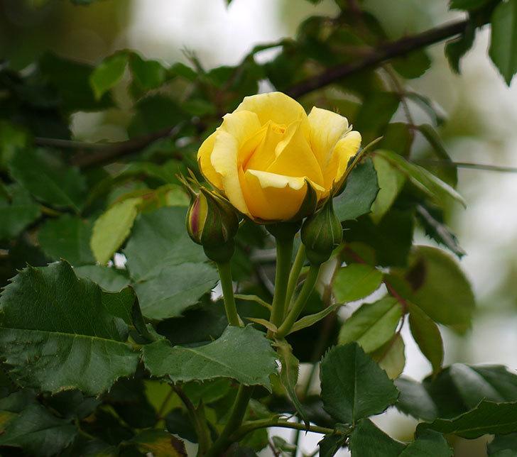つるゴールドバニー(ツルバラ)の花が咲いた。2017年-9.jpg