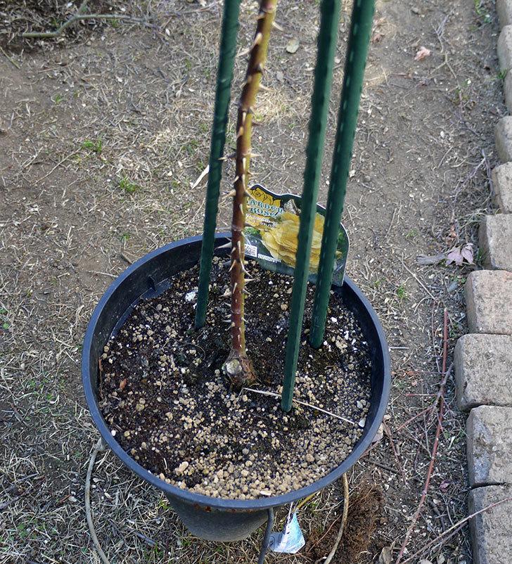 つるゴールドバニー(ツルバラ)の鉢植えを地植えして誘引した。2017年-11.jpg