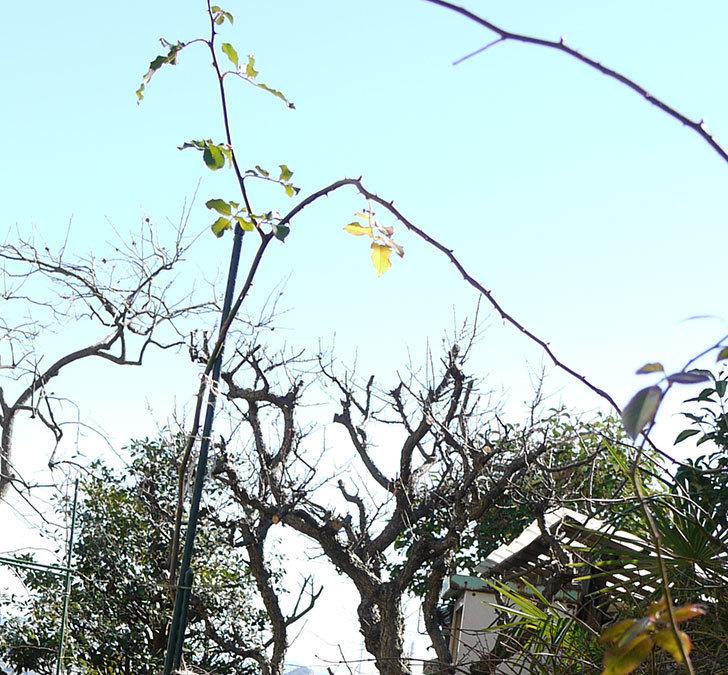 つるゴールドバニー(ツルバラ)の鉢植えを地植えして誘引した。2017年-12.jpg