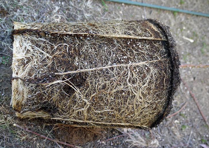 つるゴールドバニー(ツルバラ)の鉢植えを地植えして誘引した。2017年-13.jpg