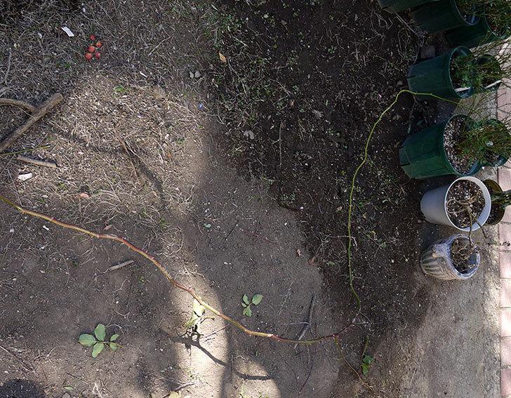 つるゴールドバニー(ツルバラ)の鉢植えを地植えして誘引した。2017年-16.jpg