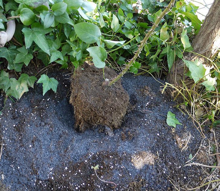つるゴールドバニー(ツルバラ)の鉢植えを地植えして誘引した。2017年-18.jpg