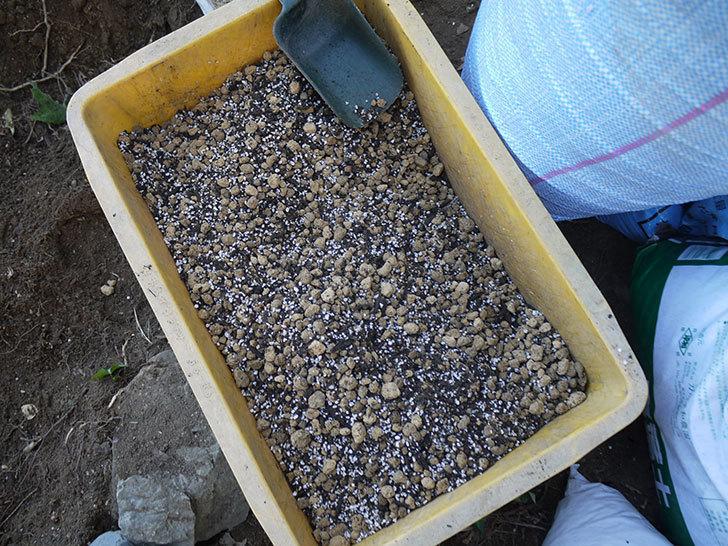 つるゴールドバニー(ツルバラ)の鉢植えを地植えして誘引した。2017年-19.jpg