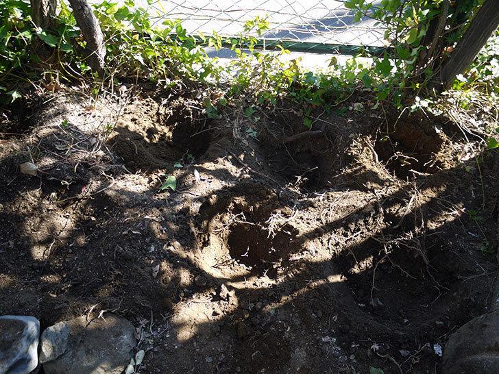 つるゴールドバニー(ツルバラ)の鉢植えを地植えして誘引した。2017年-2.jpg