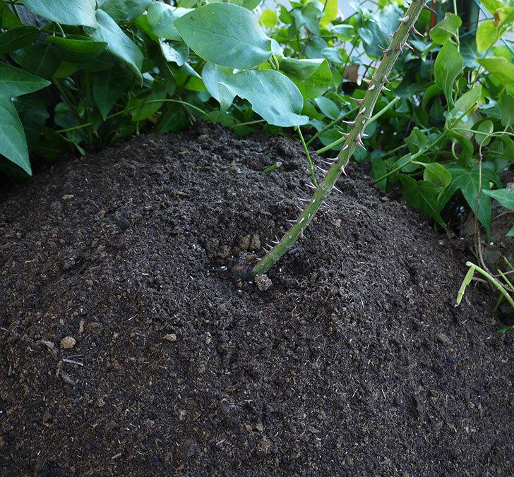 つるゴールドバニー(ツルバラ)の鉢植えを地植えして誘引した。2017年-21.jpg