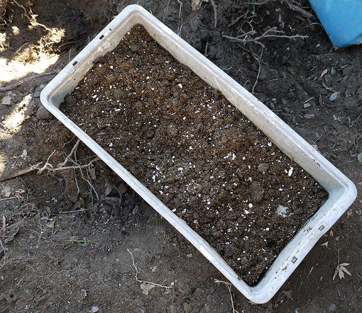つるゴールドバニー(ツルバラ)の鉢植えを地植えして誘引した。2017年-6.jpg