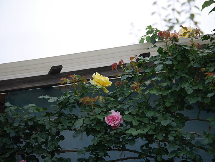 つるゴールドバニー(Gold Bunny  Cl)の2番花が咲いた。ツルバラ。2020年-001.jpg