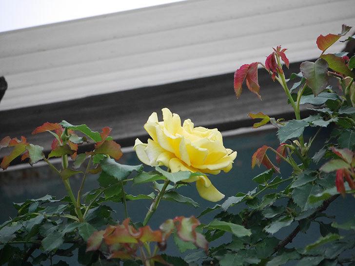 つるゴールドバニー(Gold Bunny  Cl)の2番花が咲いた。ツルバラ。2020年-002.jpg