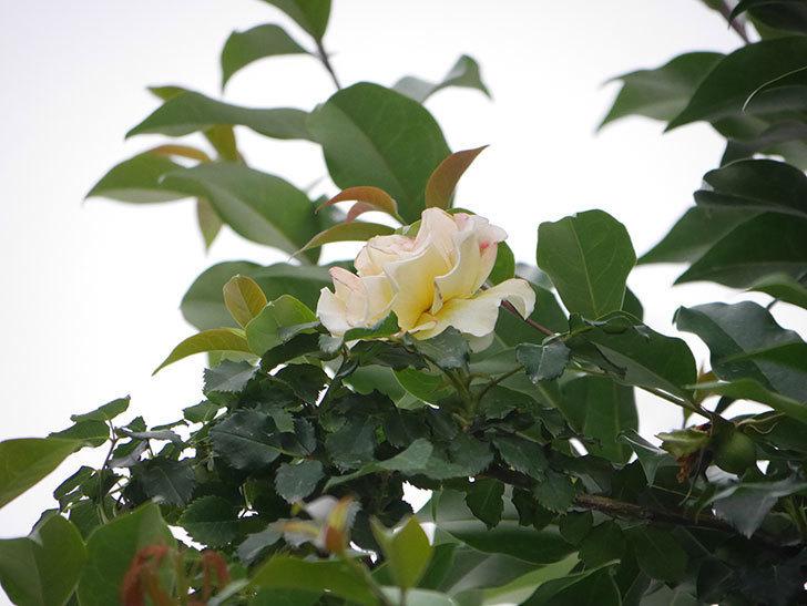 つるゴールドバニー(Gold Bunny  Cl)の2番花が咲いた。ツルバラ。2020年-003.jpg