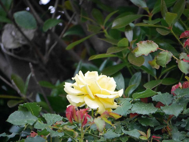 つるゴールドバニー(Gold Bunny  Cl)の2番花が咲いた。ツルバラ。2020年-004.jpg