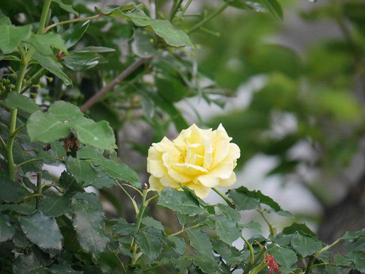 つるゴールドバニー(Gold Bunny  Cl)の2番花が咲いた。ツルバラ。2020年-006.jpg