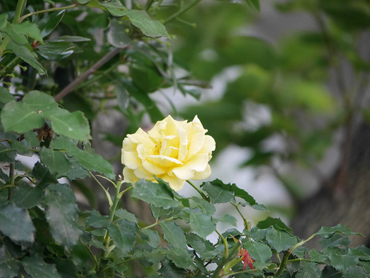 つるゴールドバニー(Gold Bunny  Cl)の2番花が咲いた。ツルバラ。2020年-007.jpg