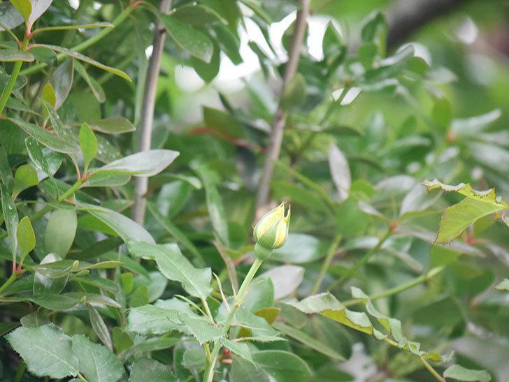 つるゴールドバニー(Gold Bunny  Cl)の2番花が咲いた。ツルバラ。2020年-008.jpg