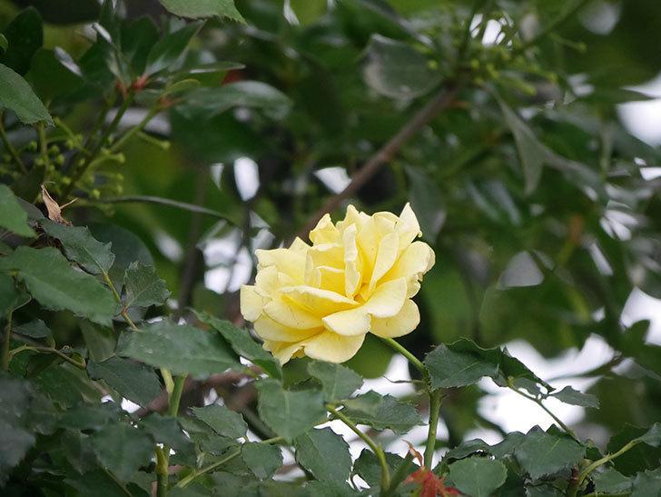 つるゴールドバニー(Gold Bunny  Cl)の2番花が咲いた。ツルバラ。2020年-009.jpg