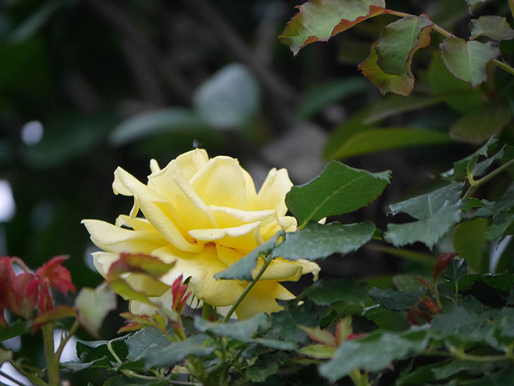 つるゴールドバニー(Gold Bunny  Cl)の2番花が咲いた。ツルバラ。2020年-011.jpg