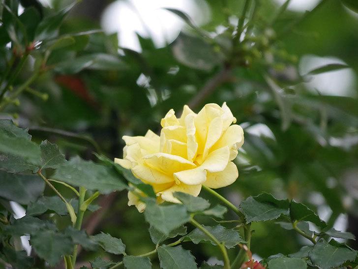 つるゴールドバニー(Gold Bunny  Cl)の2番花が咲いた。ツルバラ。2020年-012.jpg