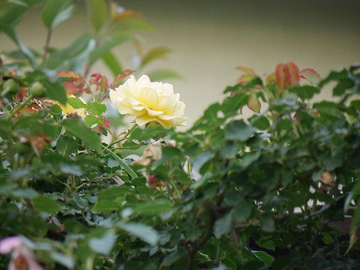 つるゴールドバニー(Gold Bunny  Cl)の2番花が咲いた。ツルバラ。2020年-013.jpg
