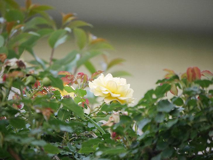 つるゴールドバニー(Gold Bunny  Cl)の2番花が咲いた。ツルバラ。2020年-014.jpg