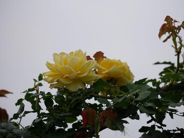 つるゴールドバニー(Gold Bunny  Cl)の2番花が咲いた。ツルバラ。2020年-015.jpg