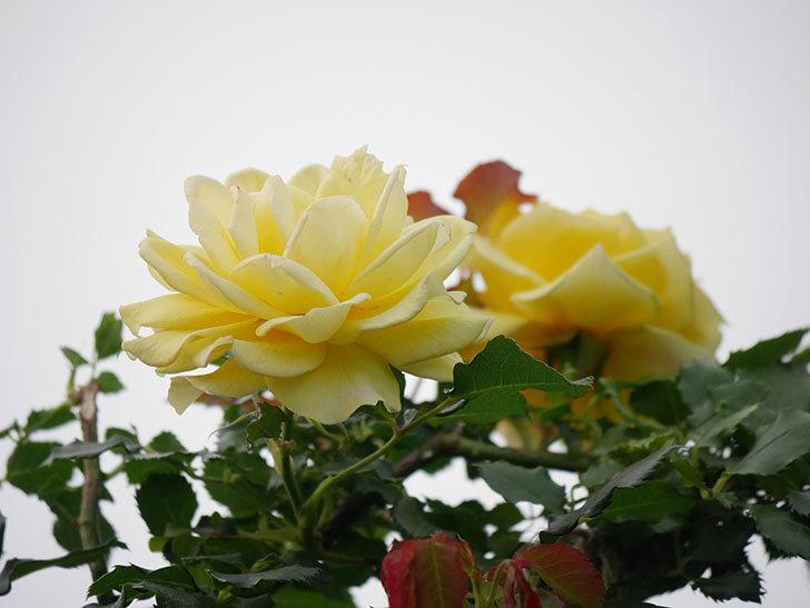 つるゴールドバニー(Gold Bunny  Cl)の2番花が咲いた。ツルバラ。2020年-016.jpg