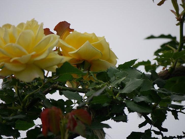 つるゴールドバニー(Gold Bunny  Cl)の2番花が咲いた。ツルバラ。2020年-017.jpg