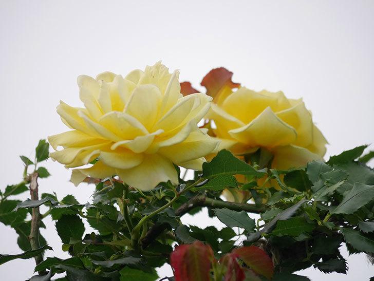 つるゴールドバニー(Gold Bunny  Cl)の2番花が咲いた。ツルバラ。2020年-018.jpg