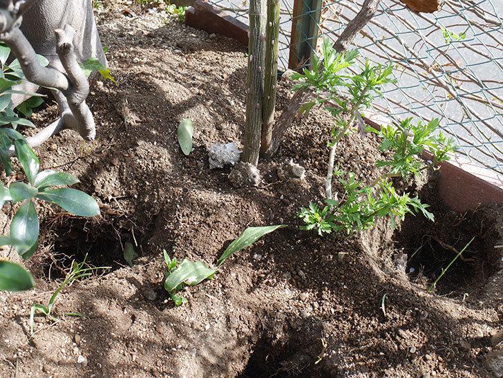 つるゴールドバニー(Gold Bunny Climbing)に寒肥を施した。ツルバラ。2021年-001.jpg