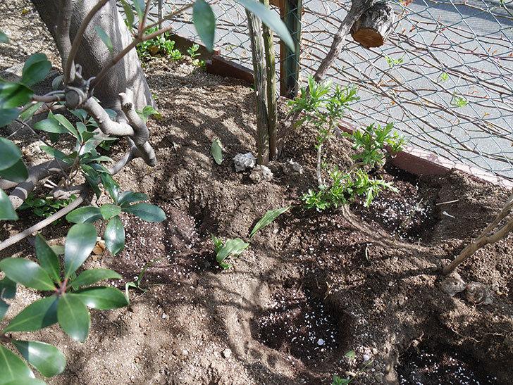 つるゴールドバニー(Gold Bunny Climbing)に寒肥を施した。ツルバラ。2021年-013.jpg